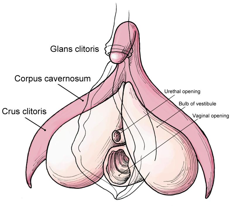 clitoris-anatomy.jpg